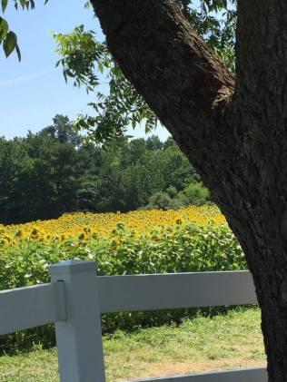 sunflowers b