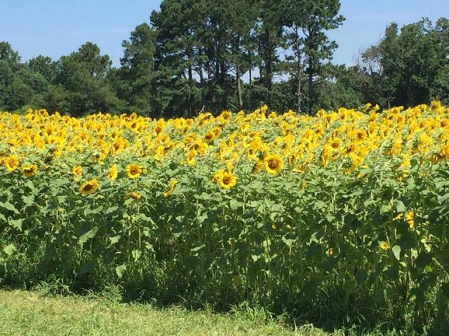 sunflowers c